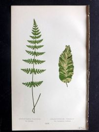 Lowe 1869 Antique Fern Print. Cystopteris Fragilis. Vulgare 64
